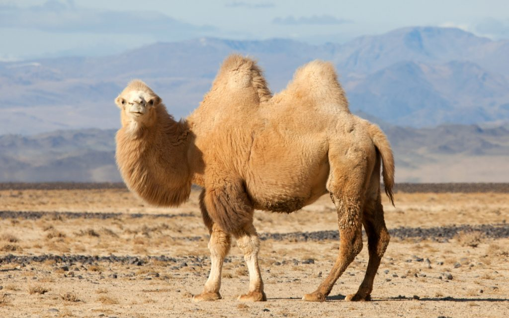 camel pictures wallpapers