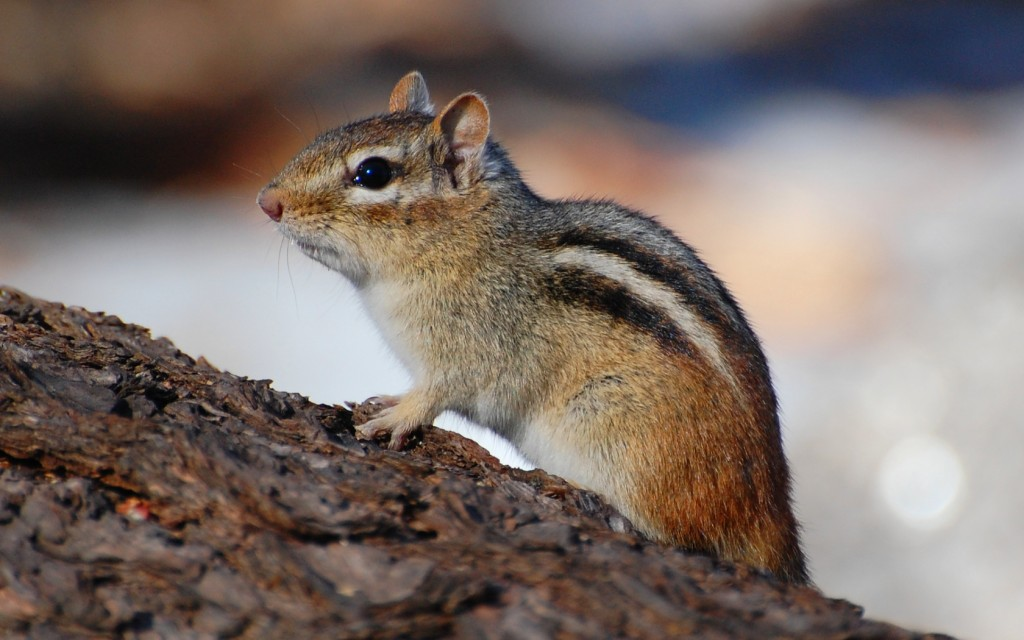chipmunk-background-24733-25405-hd-wallpapers