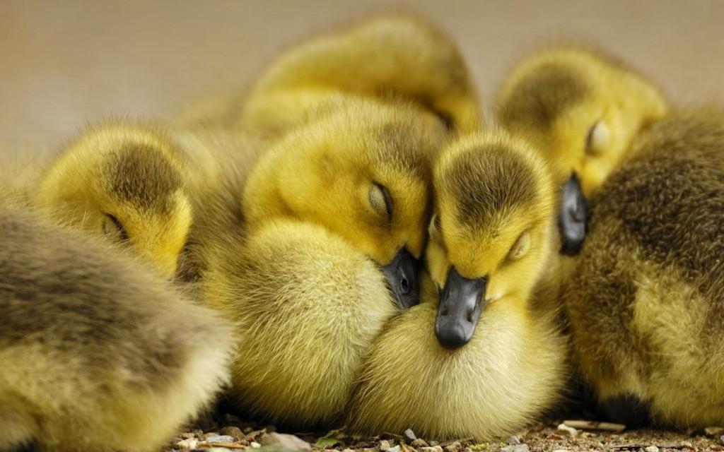 cute duckling wallpapers