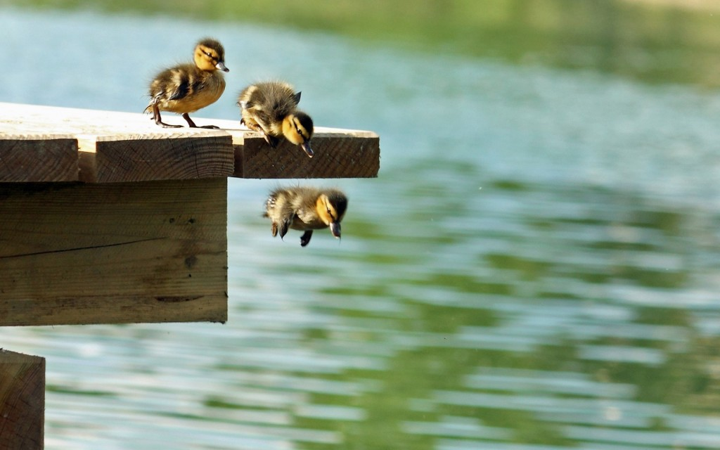 duckling jumping wallpapers
