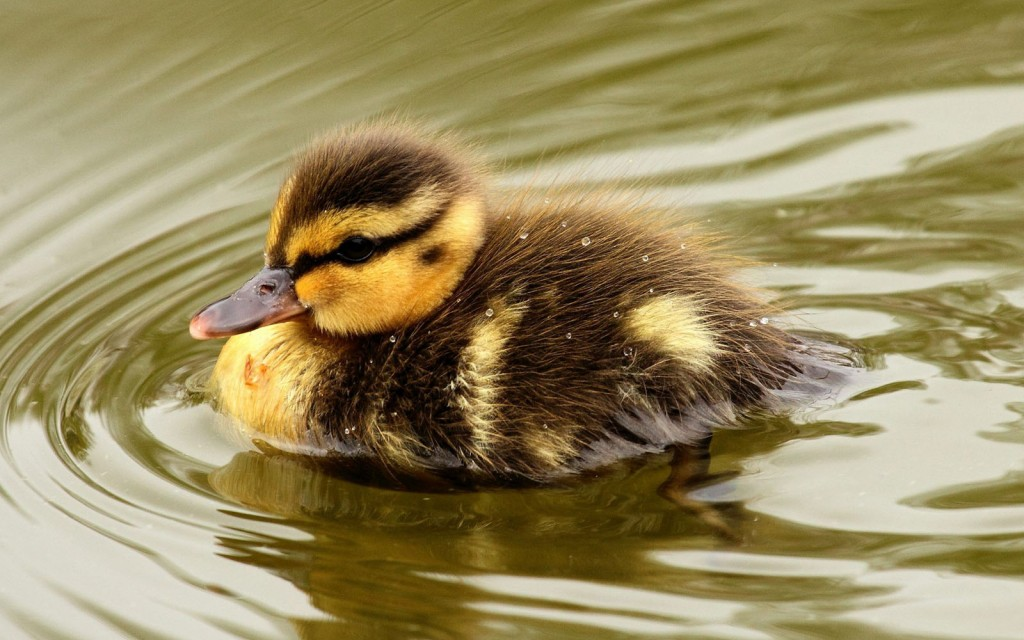 duckling swimming wallpapers