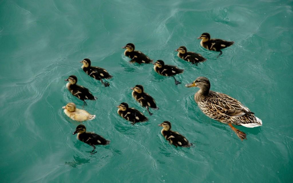 duckling wallpapers