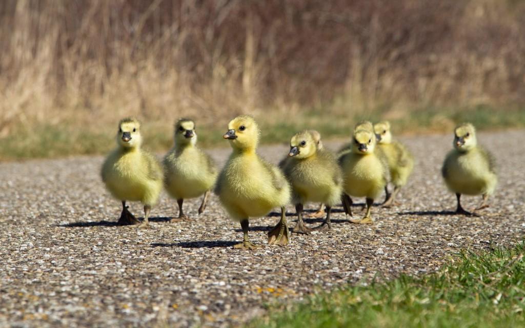ducklings-35834-36650-hd-wallpapers