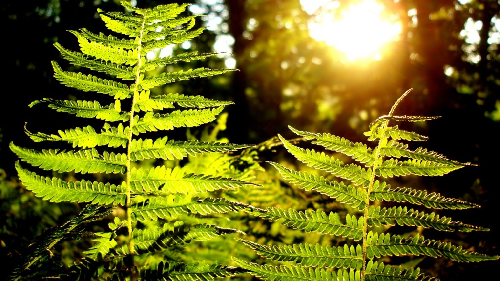 fern plant background wallpapers