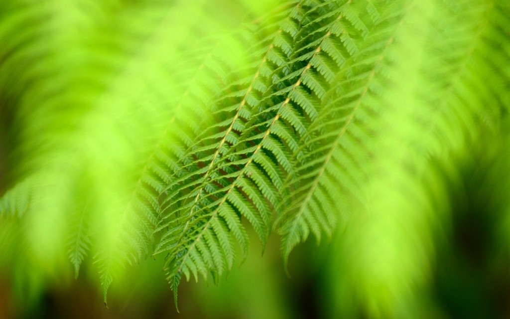 fern wallpapers