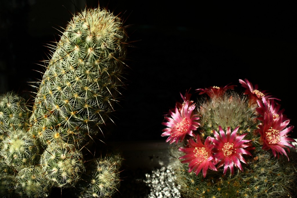 free cactus wallpapers