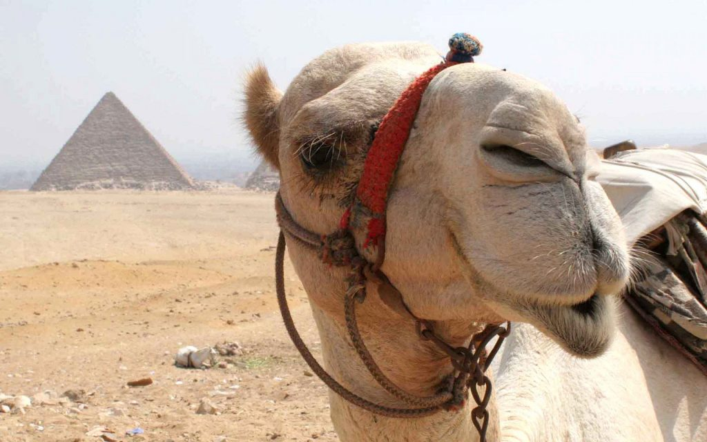 funny camel face wallpapers