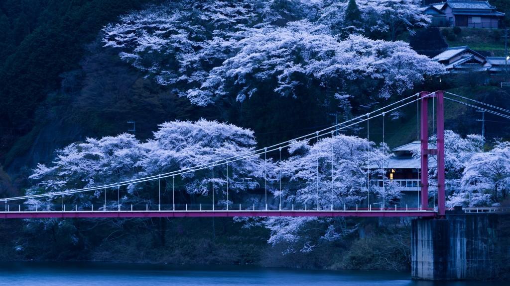 japan sakura trees wallpapers
