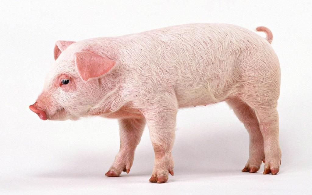 pig computer wallpapers