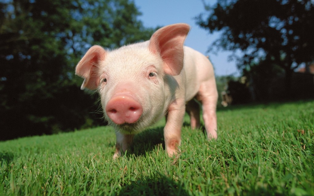 pig wallpapers