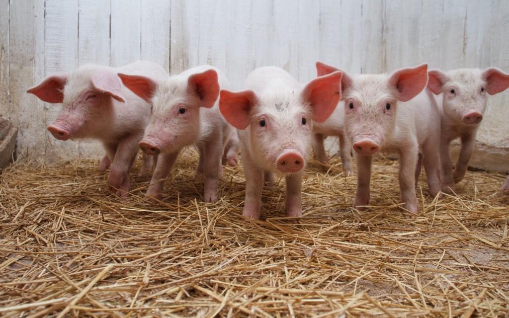 pig widescreen wallpapers
