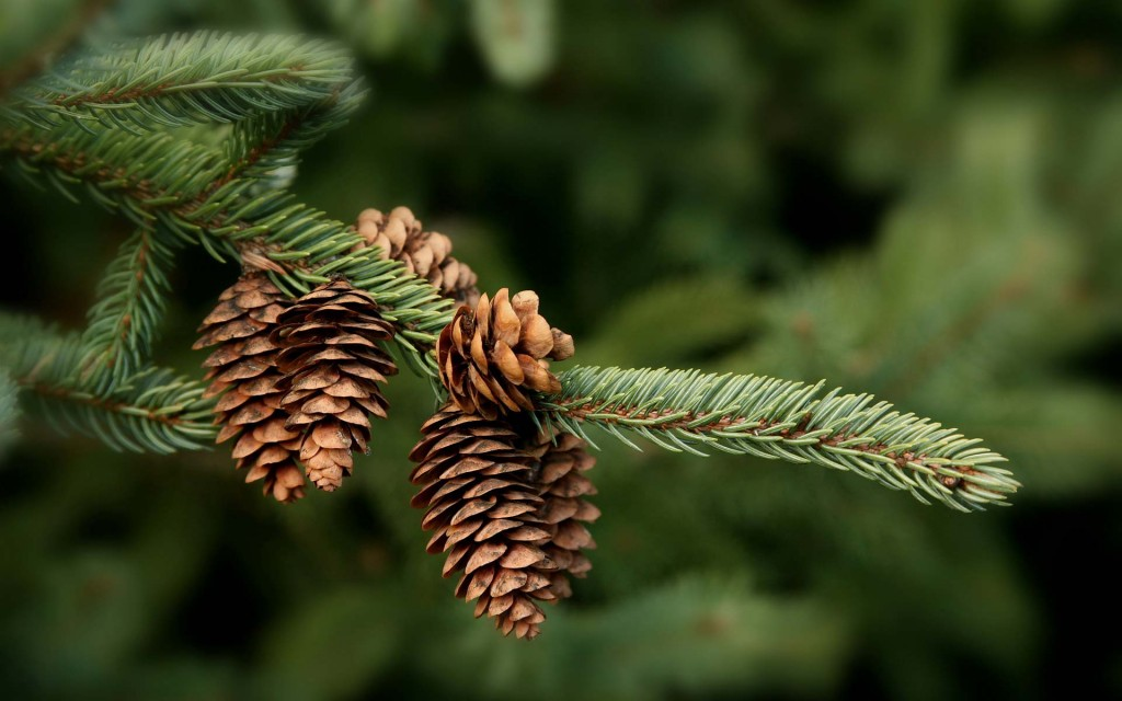 pine cone nature wallpapers