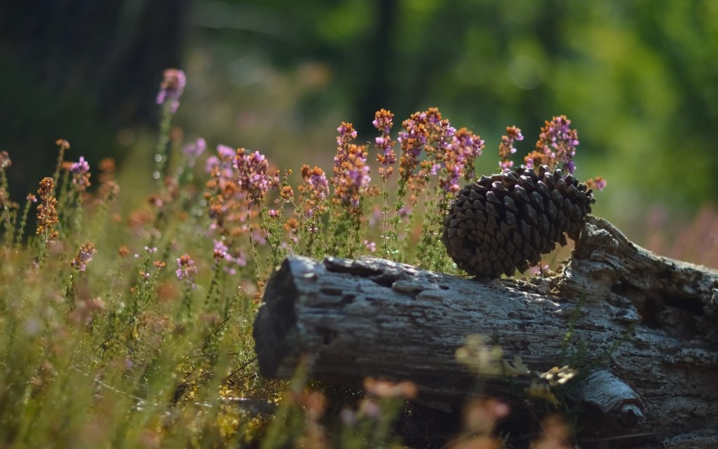 pine cone -wallpapers