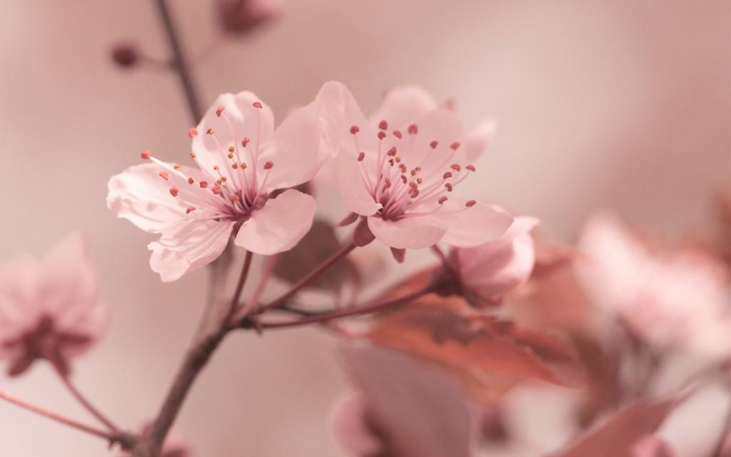 sakura flowers desktop wallpapers