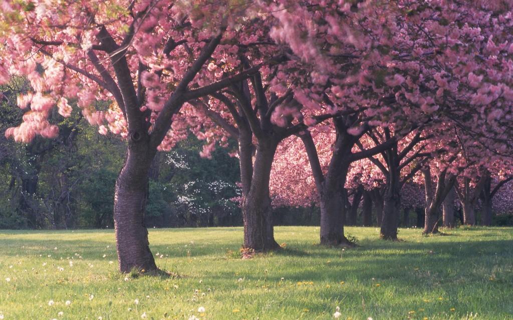 sakura trees wallpapers