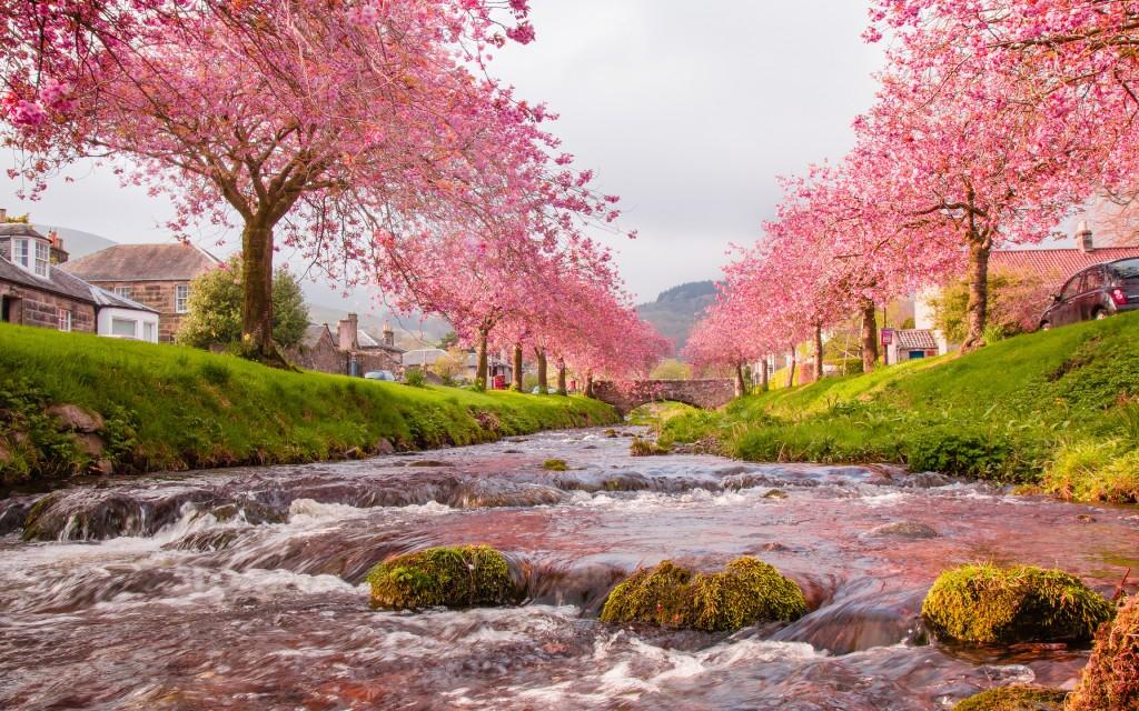 sakura trees wide wallpapers