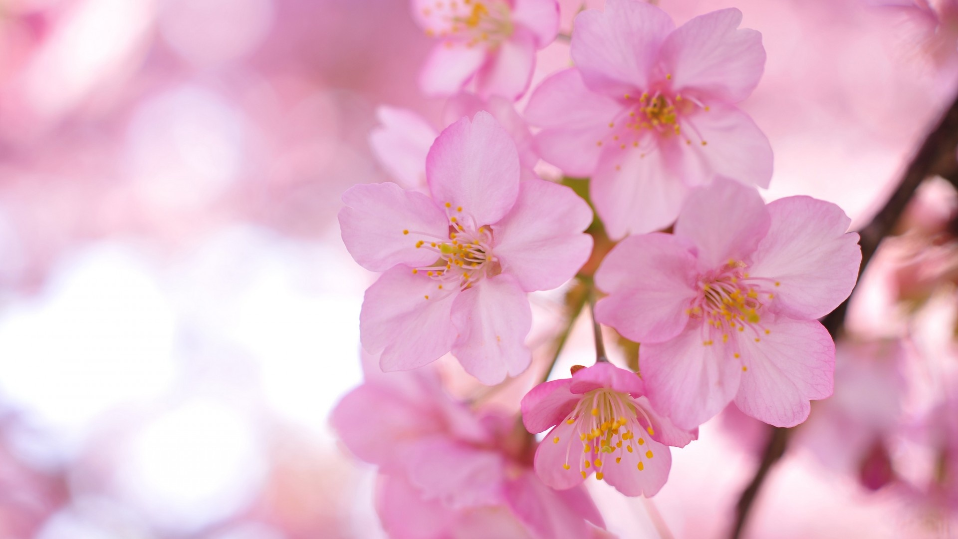 29 wonderful hd sakura wallpapers