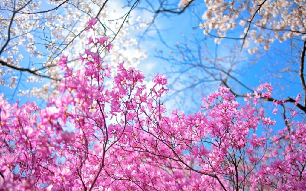 spring sakura wallpapers