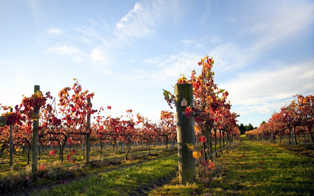 vineyard pictures wallpapers