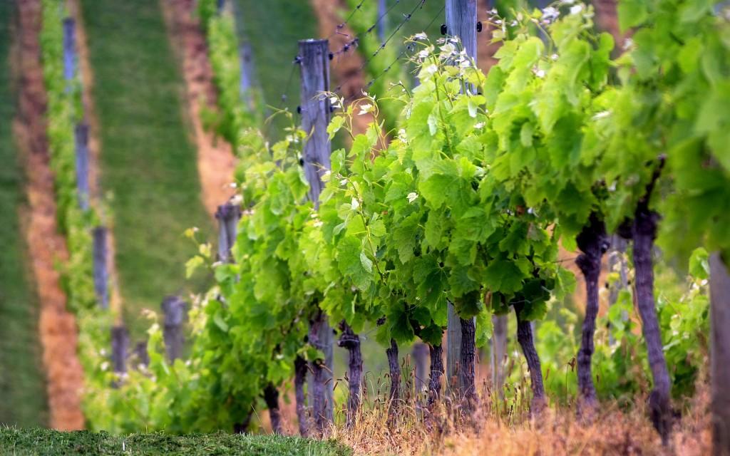vineyard wide wallpapers