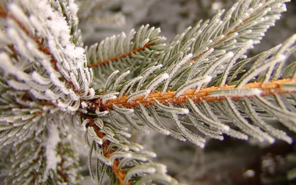 winter spruce wallpapers