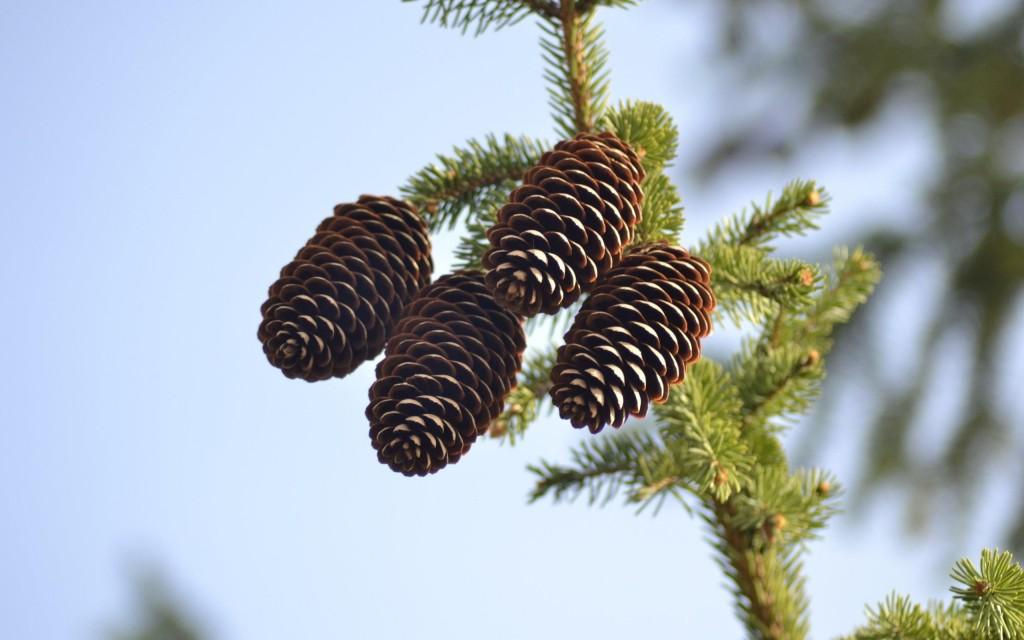 wonderful pine cone wallpapers