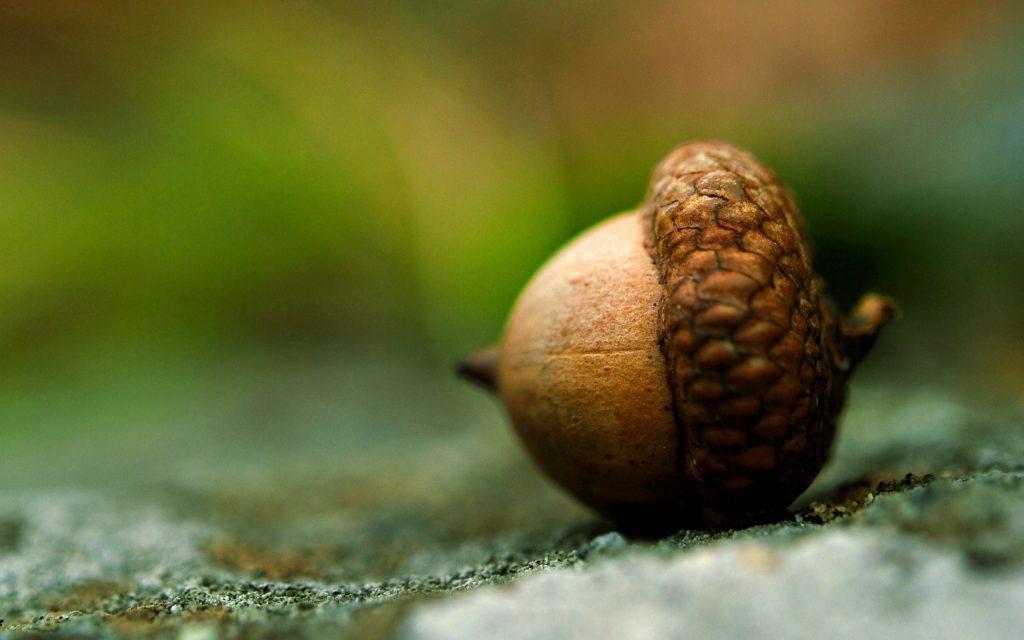 acorn wallpapers