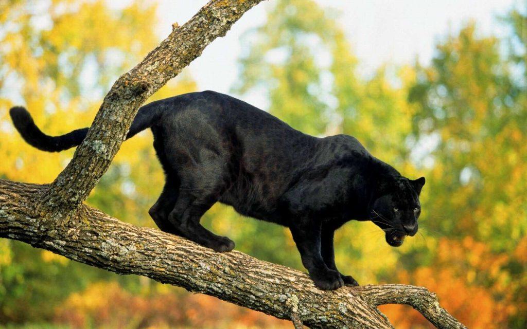 black panther animal desktop wallpapers