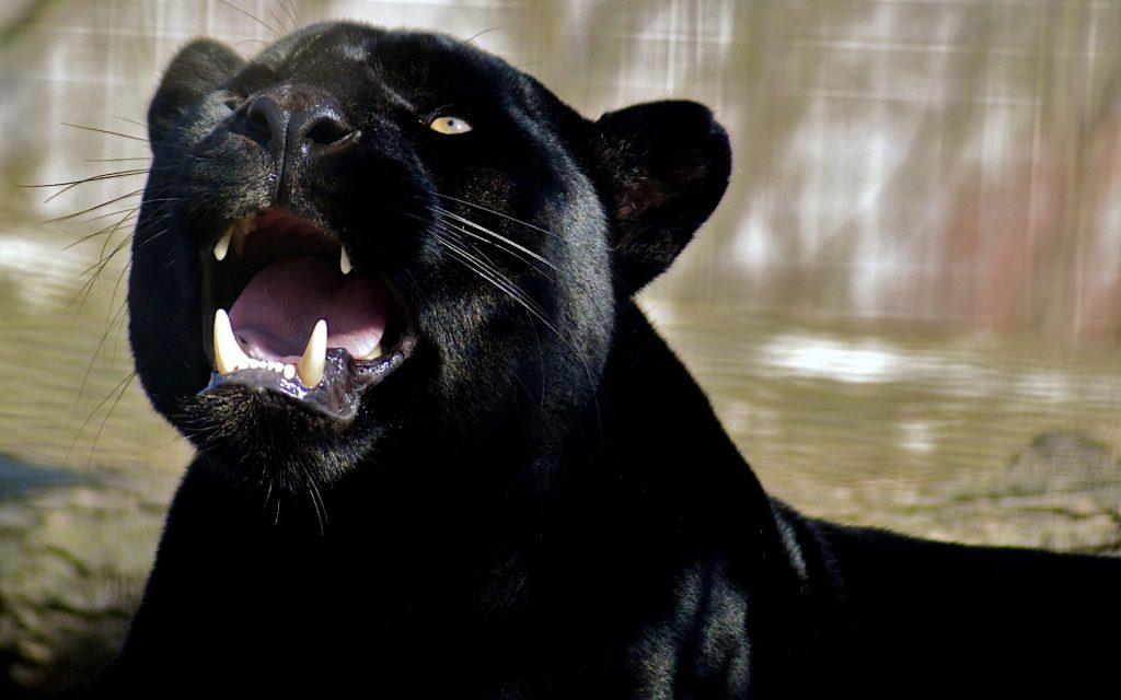 black panther desktop wallpapers