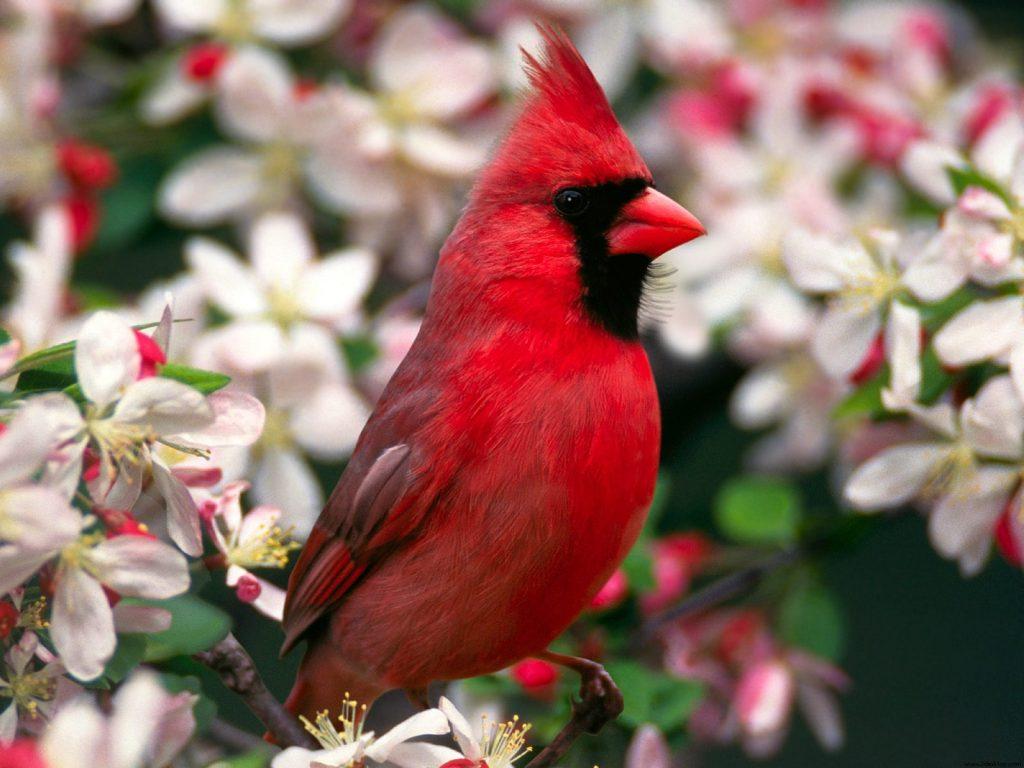 cardinal hd wallpapers