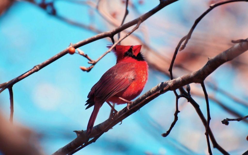 cardinal bird computer wallpapers