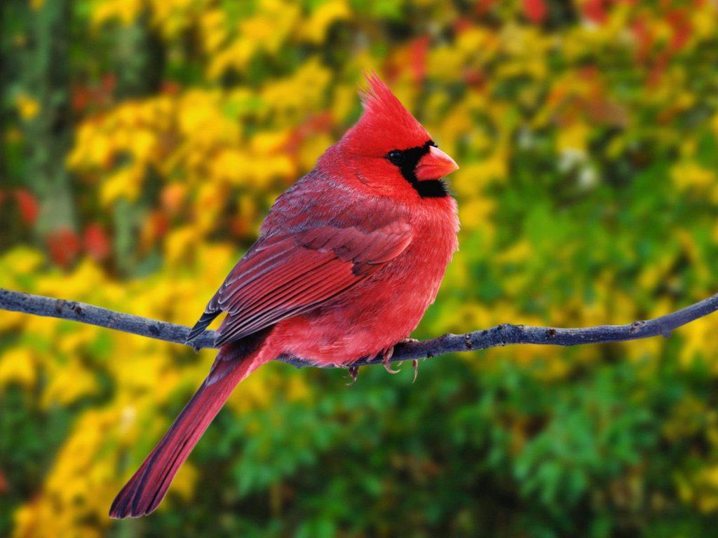 cardinal bird computer pictures wallpapers
