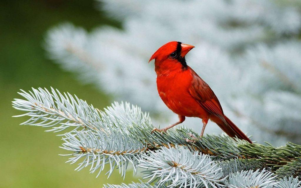 cardinal bird desktop wallpapers