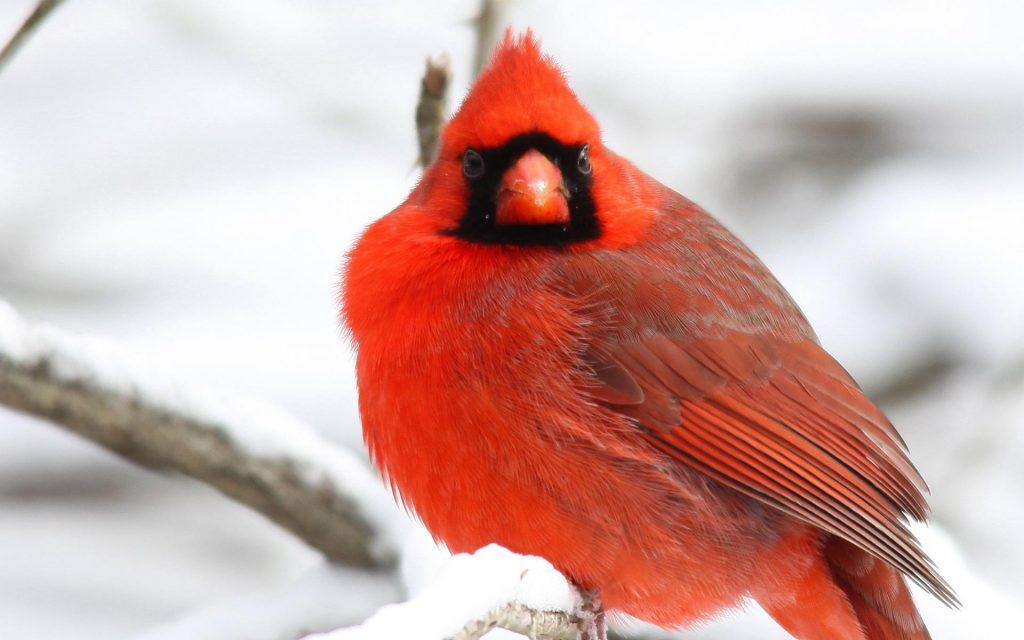 cardinal bird up close wallpapers