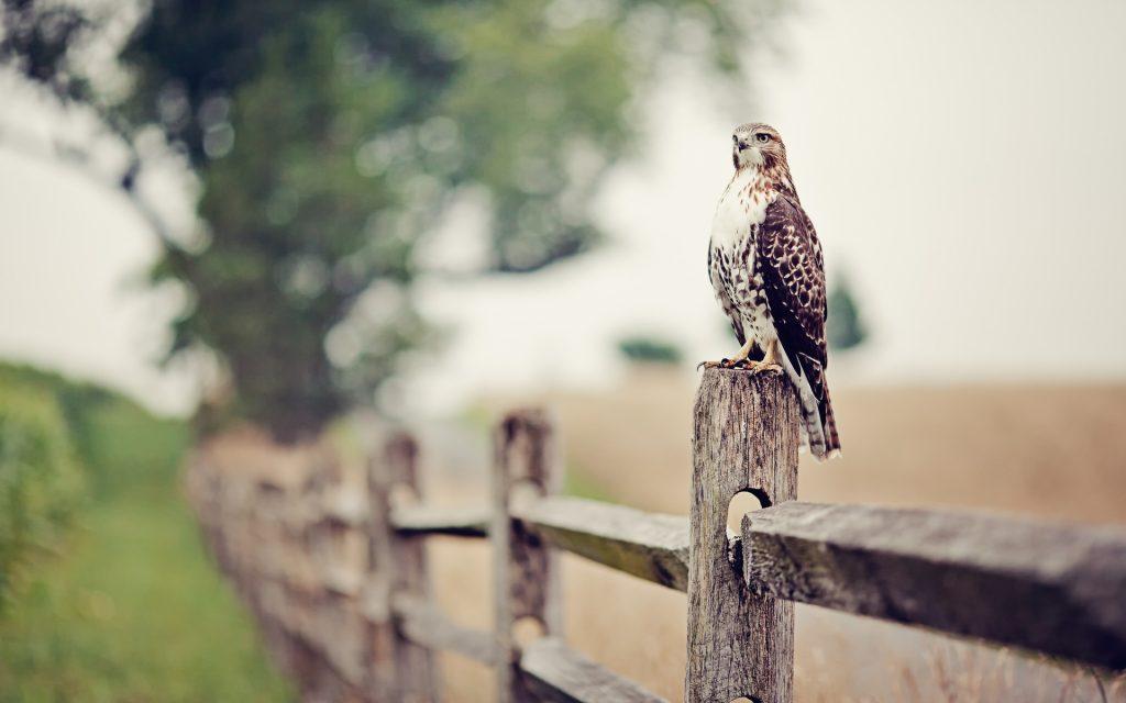 cute falcon wallpapers