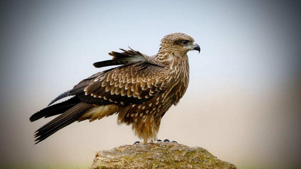 falcon bird desktop wallpapers