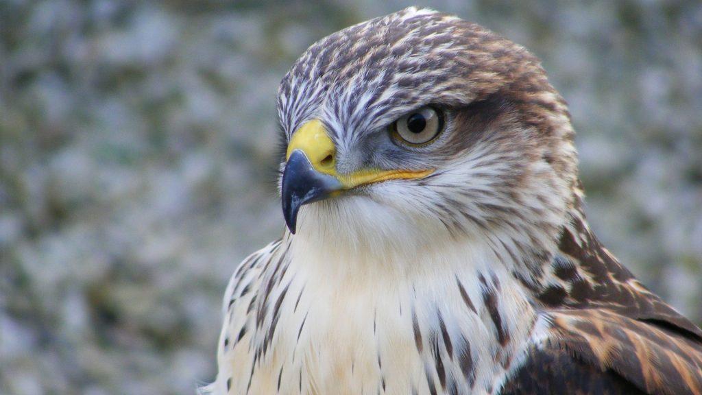 falcon bird face hd wallpapers
