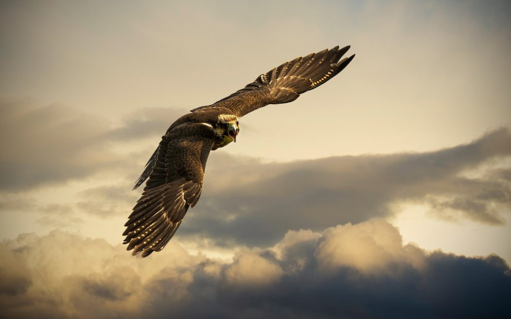 falcon bird flying background wallpapers