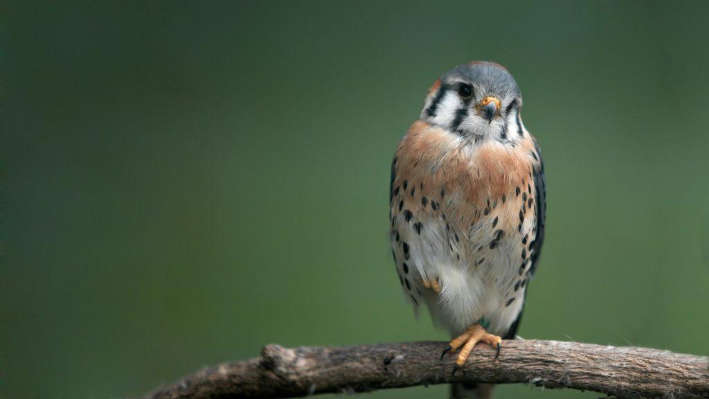 falcon bird pc wallpapers