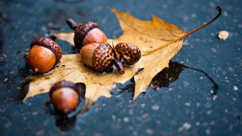 free acorn wallpapers