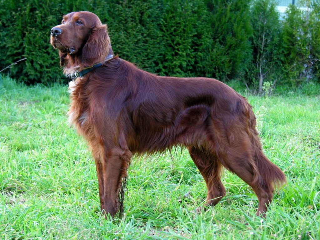 irish setter pictures wallpapers