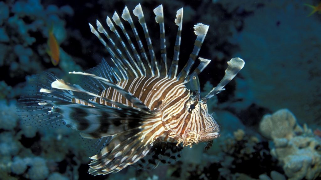 lionfish desktop wallpapers