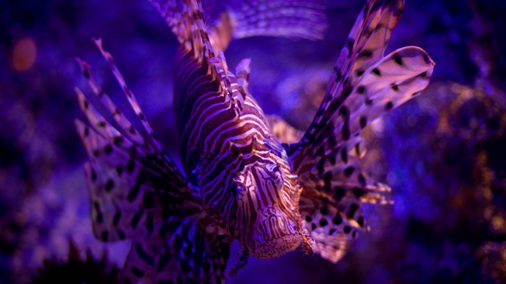 lionfish background wallpapers