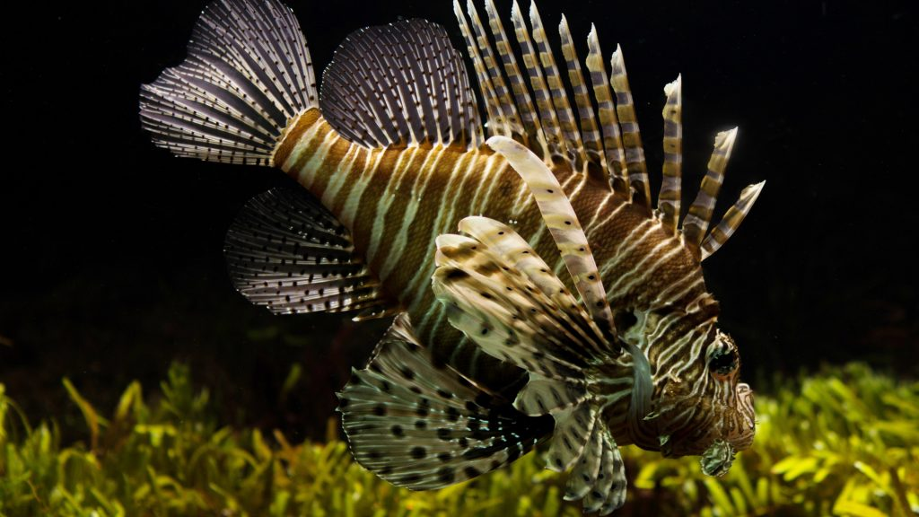 lionfish widescreen wallpapers