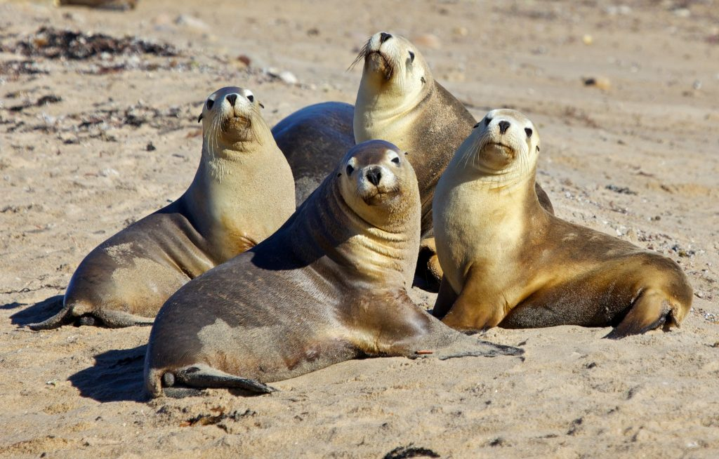 sea lion family wide wallpapers