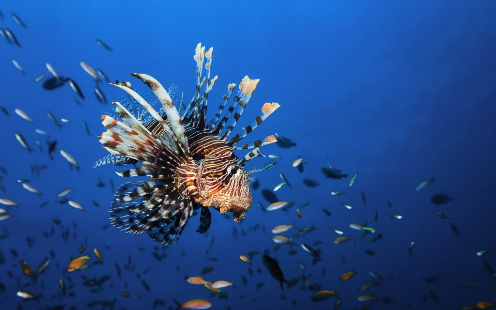 wonderful lionfish wallpapers
