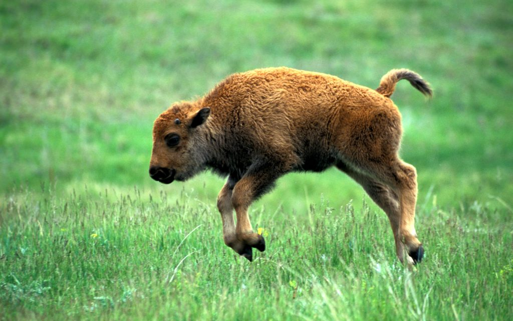 baby bison background wallpapers