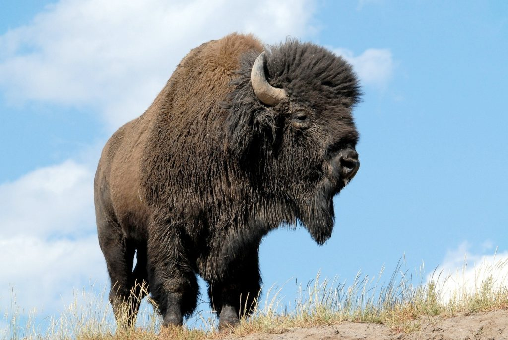 bison animal photos wallpapers
