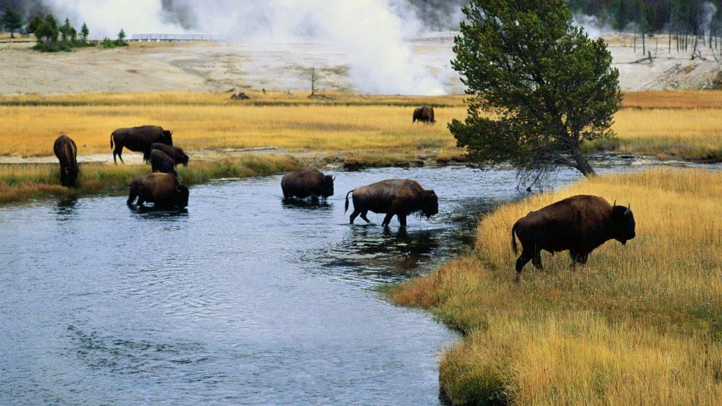 bison desktop wallpapers