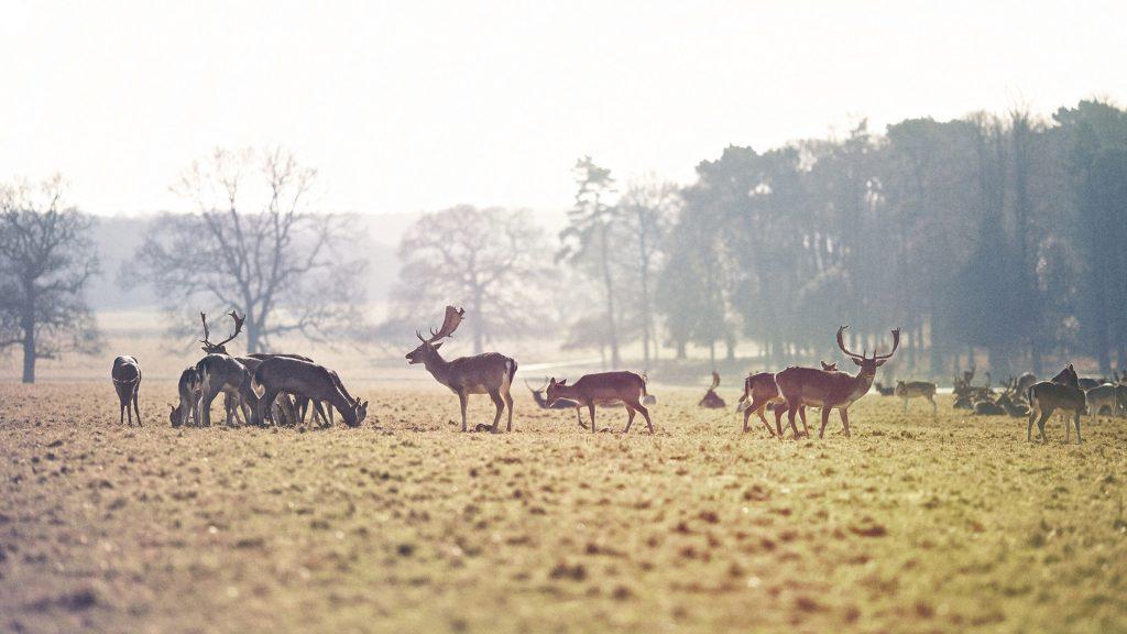 deer herd widescreen wallpapers